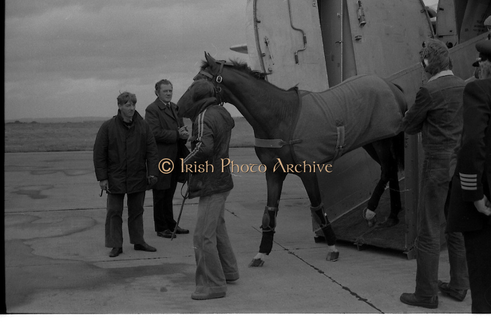 Arrival of Ninski Major and Torus.   (M95)..1979..11.10.1979..10.11.1979..11th October 1979..With the Irish St Ledger to be run, on Saturday 13th Oct, two of the race favourites landed at Dublin Airport today. Ninski Major to be ridden by Willie Carson and Torus to be ridden by John Reid unloaded from the Aer Turas animal transport..Image shows Ninski Major descending the ramp from the air transporter.