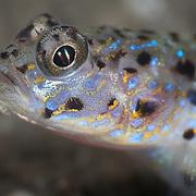 Close-up of ornate shrimp goby face, Vanderhorstia ornatissima