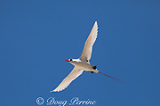 red-tailed tropicbird, or red tailed tropic bird, Phaethon rubricauda rothschildi, courtship flight, Sand Island, Midway, Atoll, Midway Atoll National Wildlife Refuge, Papahanaumokuakea Marine National Monument, Northwest Hawaiian Islands, USA ( Central North Pacific Ocean )