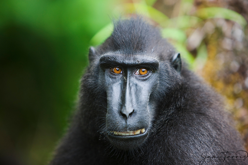 A portrait of a male Celebes Crested Macaque ( Macaca nigra ) with amber-colored eyes showing his teeth in warning, Sulawesi, Indonesia