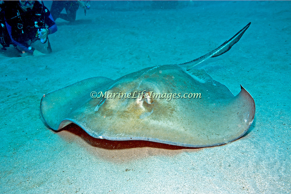 Southern Stingray inhabit sandy areas, lie on bottom often covered with sand in Tropical West Atlantic; picture taken Jupiter FL.