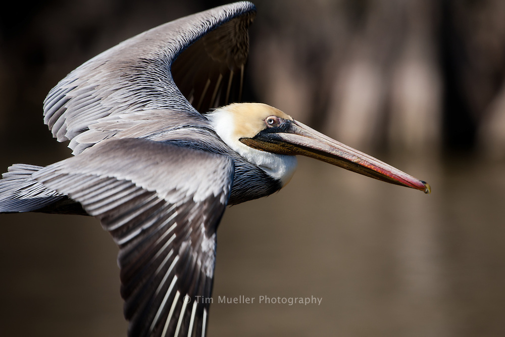 The Atchafalaya Basin is the largest overflow swamp in the country and is home to an abundance of wildlife, including this Louisiana brown pelican. The brown pelican is the state bird of Louisiana.