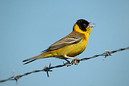 Black-headed Bunting Emberiza melanocephala. Buntings from eastern Europe and Asia occasionally turn up in spring and autumn. These include Black-headed Bunting Emberiza melanocephala (L 15-17cm) which sometimes appears in spring, males having unmistakable yellow and chestnut plumage, with a black hood.