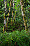 hillside of Sword Ferns (Polystichum munitum) and Red Alder (Alnus rubra) in the Anderson Landing Preserve on the Kitsap Peninsula of Washington, USA