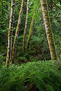 hillside of Sword Ferns (Polystichum munitum) and Red Alder (Alnus rubra) in the Anderson Landing Preserve on the Kitsap Peninsula of Washington, USA