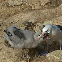 A Black Browed Albatross feeds its chick regurgitated fish in a rookery on New Island in Britain's Falkland Islands.
