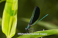 06014-002.02 Ebony Jewelwing (Calopteryx maculata) male, Lawrence Co. IL