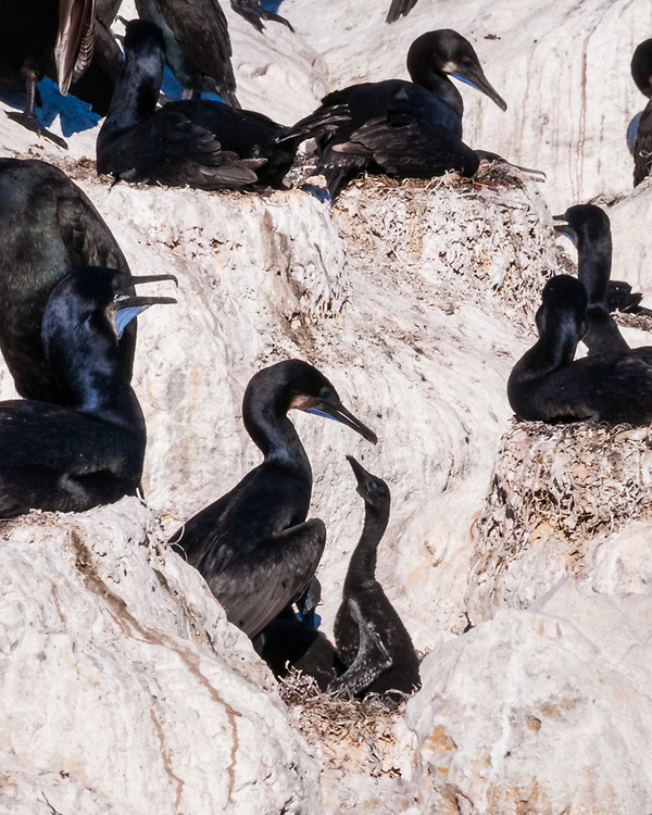Nesting Brandt's Cormorants with showy blue throats, gathered along the harbour walls in Monterey, California