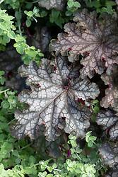 Heuchera 'Can-can' AGM - Alum root, Coral Bells