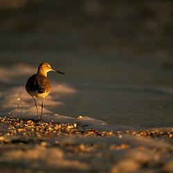 Sanibel Island, Florida.Willet, Catoptrophorus semipalmatus, at Lighthouse Beach. Gulf of Mexico.