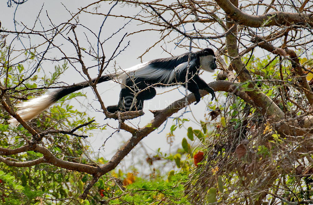 Black and White Colobus monkey, Colobus guereza, elegantly jumping among the braches in the forest from near Murchison's Falls, Uganda.