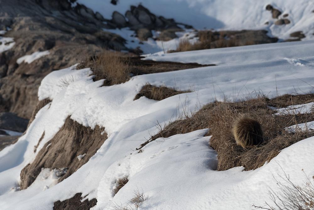 A porcupine rests while blending into grasses in Badlands National Park.