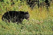 American black bear (Ursus americanus)<br />Testsa Provincial Park<br />British Columbia<br />Canada