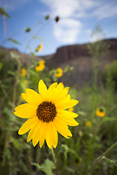 Sunflowers and cliffs, near Seco Creek, Ladder Ranch, New Mexico, USA.