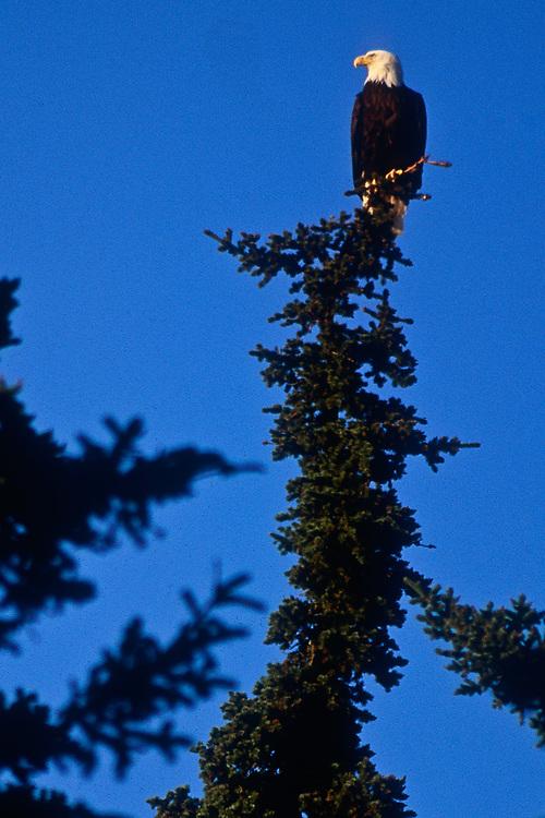 Bald eagle, Pacific Coast, Olympic National Park,  Washington, USA