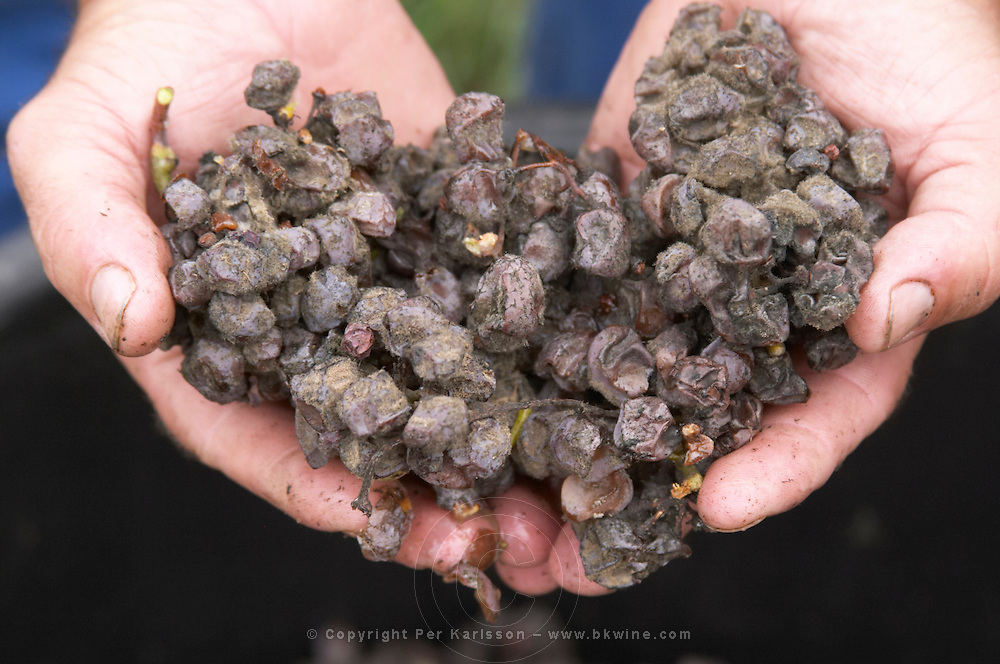 Hand picked noble rot grapes. Semillon. Chateau Nairac, Barsac, Sauternes, Bordeaux, France