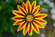 Gazania flower, Butchart Gardens, Victoria, Canada
