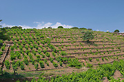 Vineyard. By the train station. Banyuls sur Mer, Roussillon, France