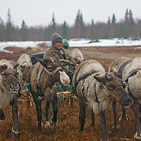 As rapidly-approaching spring melts snow in the Russian arctic, Alexei Semyashkin, a nomadic Komi reindeer herder,  walks his team through a snowstorm at the edge of a taiga forest.