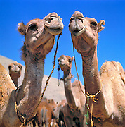 Camels pose in perfect symmetry at the Camel Market outside Kabul, Afghanistan.