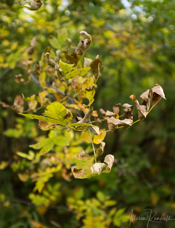 Detail of early autumn leaves at Spruce Woods Provincial Park, Manitoba