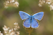 Adonis Blue Butterfly, Polyommatus bellargus, Temple Ewell, Kent Wildlife Trust, UK, wings open showing blue colour