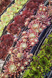 Sempervivum - houseleeks -  growing in a trough with slate used to create striped divisions