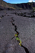 Plant in lava bed, HVNP, Kilauea Volcano, Island of Hawaii<br />