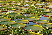 Giant Water Lily (Victoria amazonica) large group of plants amongst water hyacinth, Pantanal, Brazil.