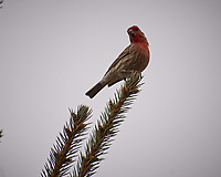House Finch. Image taken with a Nikon D2xs camera and 80-400 mm VR telephoto zoom lens.