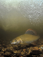 Grayling<br /> <br /> Viktor Vrbovsky/Engbretson Underwater Photography