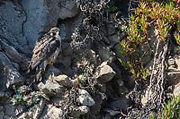 Peregrine Falcon, Falco peregrinus, perches on a rocky cliff overlooking the Pacific Ocean near Bodega Bay, California