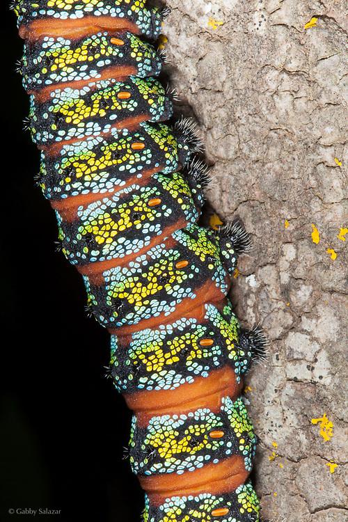 Caterpillar. Geelbek, West Coast National Park. South Africa.