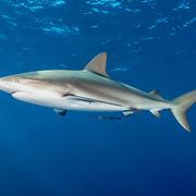 Portrait of a Caribbean reef shark (Carcharhinus perezi). Image made off Jardines de la Reina, Gardens of the Queen National Park, Cuba