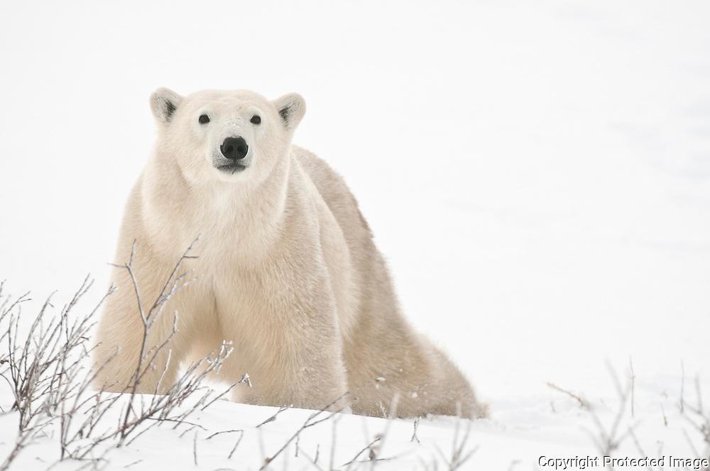 Polar bear  (Ursus maritimus) on frozen tundra along the Hudson Bay Coast<br /> Churchill<br />Manitoba