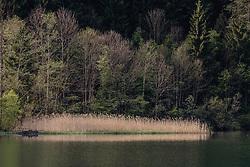 THEMENBILD - Schilf am Rande des Klammsee, aufgenommen am 02. Mai 2019, Kaprun, Österreich // Reed at the edge of the Klammsee on 2019/05/02, Kaprun, Austria. EXPA Pictures © 2019, PhotoCredit: EXPA/ Stefanie Oberhauser