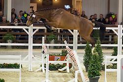 084, Dejavu De Laume<br /> BWP Hengsten keuring Koningshooikt 2015<br /> © Hippo Foto - Dirk Caremans<br /> 21/01/16