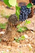 pinot noir old vine clos des langres ardhuy nuits-st-georges cote de nuits burgundy france