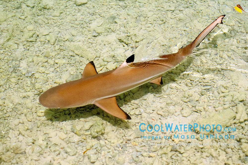 blacktip reef shark juvenile, Carcharhinus melanopterus, Hawaii, Pacific Ocean (c)