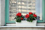 Eastern Europe, Hungary, Budapest, red Geranium flowers on a windowsill