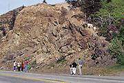 Alaska. Seward Highway. Tourists stop to look at the Dall Sheep.