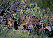 Collard Peccary with young eating cactus - Big Bend N.P., Texas.