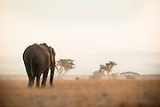 An african elephant at dawn in Amboseli National Park, Kenya