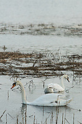 Mute swans in the fading light in the salt marsh at the Salt Marsh Nature Center in Brooklyn's Marine Park.