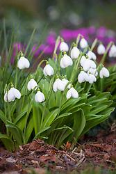 Galanthus plicatus 'Augustus'. Snowdrop.