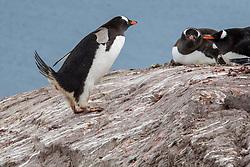 Gentoo Penguin Pooping, Neko Harbor, Antarctica
