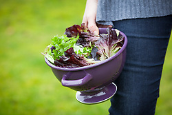 Purple colander with salad leaves