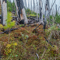 A lodgepole pine forest regrows after a massive forest fire in 2003 - one of biggest ever in the Canadian Rockies - raged through Kootenay National Park, British Columbia, Canada.