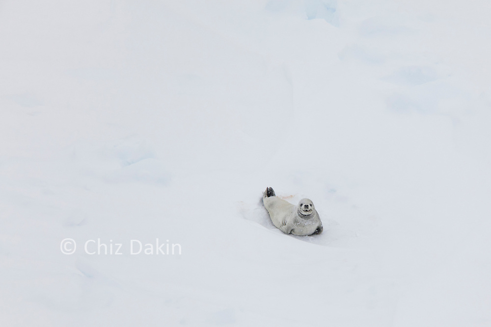 Crab-eater seal hauled out and looking at camera on thick pack ice on the approach to Peter 1 Øy, Antarctica