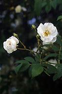 Flowers on a Rambler Rose (Seagull) in a backyard garden